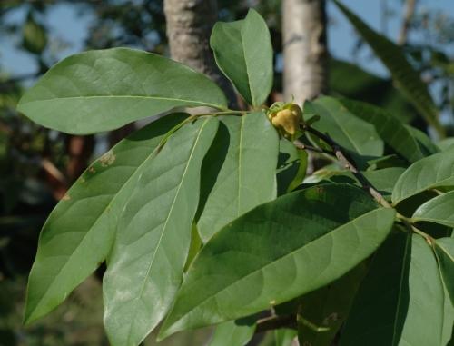 1 Polyalthia2